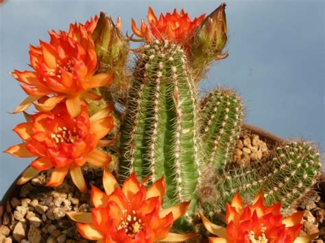 Chamaelobivia 'Cactus Art' - Peanut Cactus | World of ...