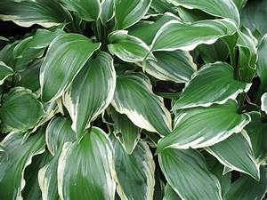 Online Plant Guide - Hosta 'Albo-Marginata' / Silver Crown ...