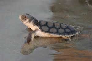 Baby flatback turtle - ABC News (Australian Broadcasting ...