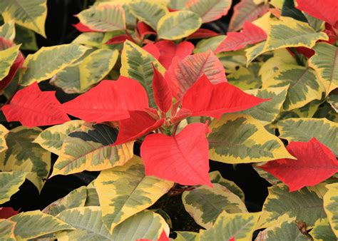 pretty poinsettias  ideal christmas accent