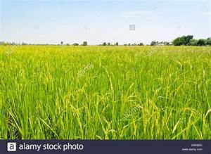 Beautiful natural scenery of green rice fields in rural ...
