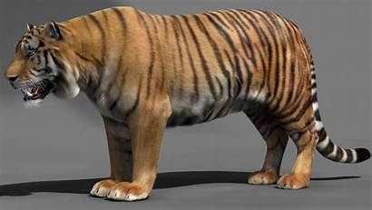 Tiger 3d Max Animated Animals Cgtrader Rigged