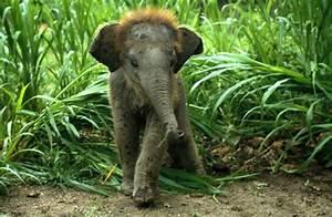Asian Elephant - Characteristics, Habitat & Breeding ...