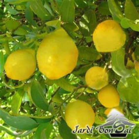citronnier 4 saisons en pot citronnier 4 saisons pot 3 litres plus de 2 ans jardibonsai jardin 174