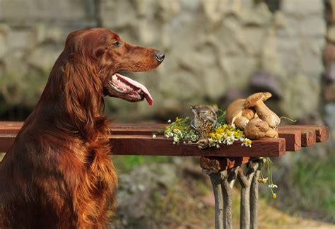 Hund Hat Pilz Im Garten Gefressen by Pilze F 252 R Hunde 187 M 246 Sie Pilze