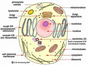 Basic Structure Of A Eukaryotic Cell  Eukaryotes  Plants