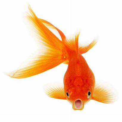 Goldfish Betta