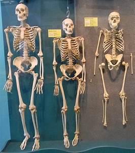 Human Evolution Skeletons