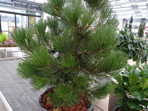 Kiefern Im Garten by Pinus Kiefer