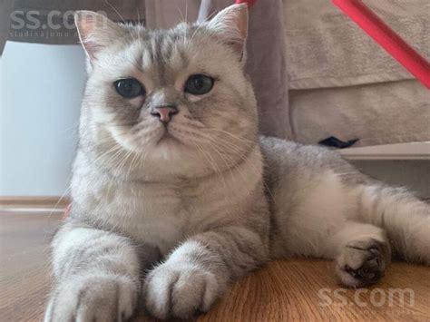 SS.COM Kaķi, kaķēni - Britu īsspalvainais, Cena 500 ...