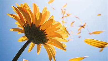 Petals Floating Sunflower Wind Lots Flowers Wallpapers