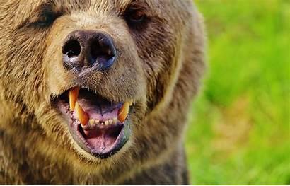 Bear Brown Animal Fur Wild Dog Head