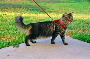 Domestic long-haired cat - Wikipedia  Domestic
