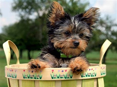 Fun  Ee  Facts Ee   About Yorkshire Terriers