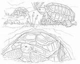 Coloring Desert Animals Tortoise Printable Turtle Colouring Animal Printables Why Popular Species Owl Adult Worksheets Template Uteer sketch template