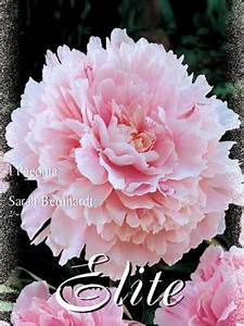 Pfingstrose Sarah Bernhardt : pfingstrose 39 sarah bernhardt 39 ~ A.2002-acura-tl-radio.info Haus und Dekorationen