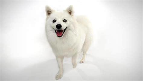 american eskimo dog small dog breeds dbcentral