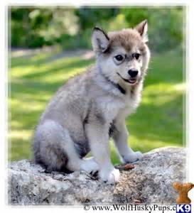 Husky Wolf Puppies