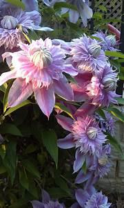 Clematis Pflanzen Kübel : clematis josephine blumenbeete pinterest blumen pflanzen blumen und gartenpflanzen ~ Orissabook.com Haus und Dekorationen