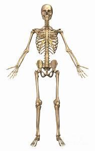 Human Skeletal System  Front View Digital Art By Stocktrek