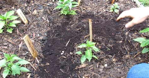 Sprinkle Coffee Grounds In The Garden For Better Plants