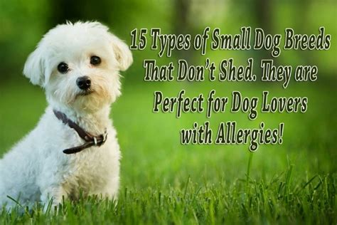 what types of dogs dont shed 15 types of small breeds that don t shed they are