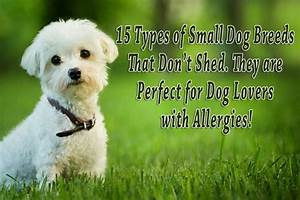 15 types of small dog breeds that dont shed they are perfect for dog lovers with allergies