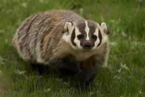 Dream of Badger