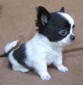 CUTE TEACUP CHIHUAHUA ... ...........click here to find ...