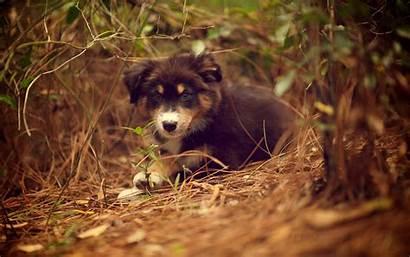 Shepherd Australian Puppy Wallpapers Animal Dogs Dog