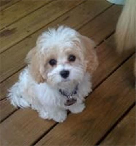 Non Shedding Hypoallergenic Hybrid Dogs by Cavachon Puppies Hybrids Non Shedding Cavachon