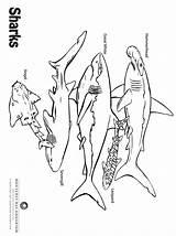 Coloring Sharks Aquarium Sea Monterey Bay sketch template