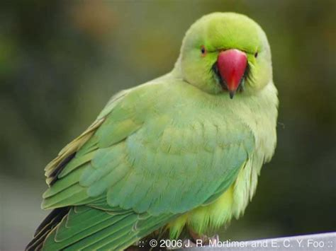 indian ringneck indian ringneck neophytte1 mine nu richard mortimer