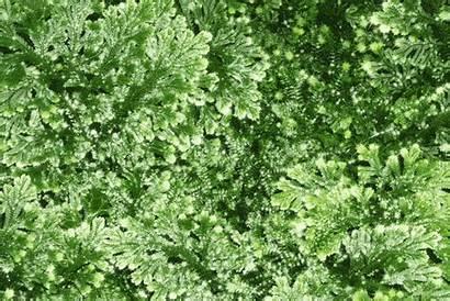 Herb Sanjivani Indian Proposes Medicinal Lore Myth