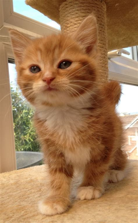 Ginger And White Male Kitten Newton Abbot Devon