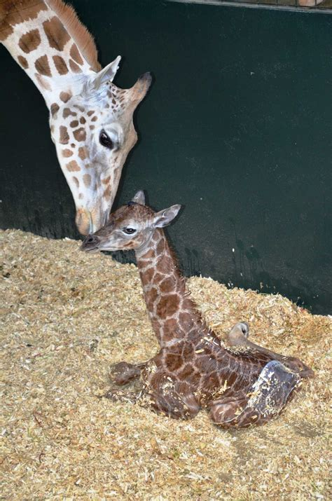 rare rothschild giraffe born  greenwich conservation center