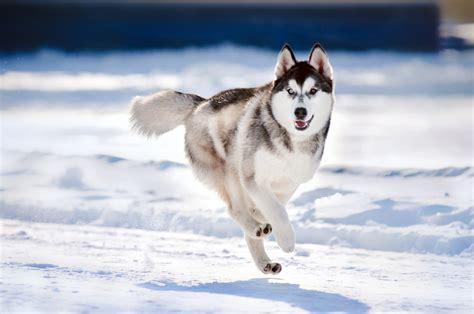 Siberian Huskies Off Leash
