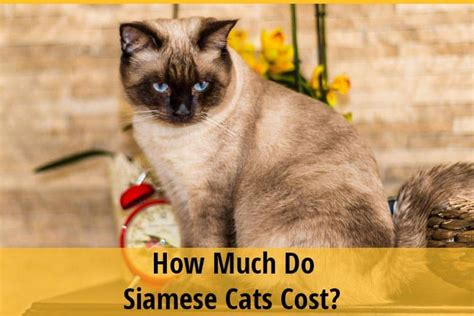 siamese much cost cats lynx point