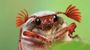 Großer Schwarzer Käfer Bilder : k fer die sinnesorgane der k fer k fer insekten und spinnentiere natur planet wissen ~ Frokenaadalensverden.com Haus und Dekorationen