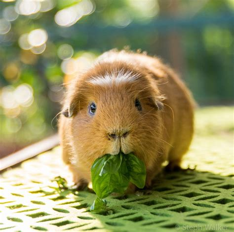 ginnie pig 8 things you didn t know about guinea pigs mnn mother nature network