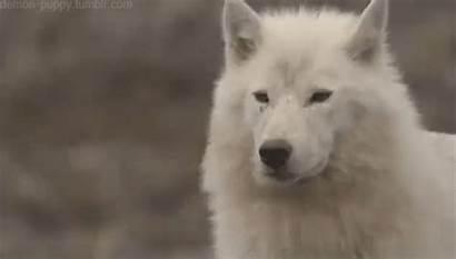 Wolf Arctic Wolves Alaska Animal Amazing Husky
