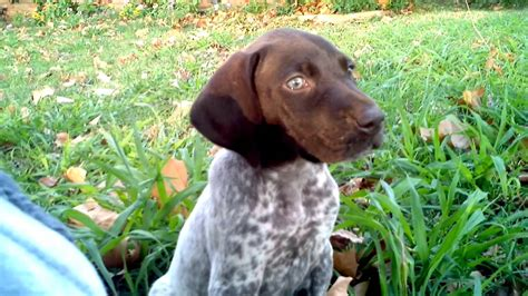 Stop German Shorthaired Pointer Shedding by German Shorthaired Pointer Puppy Being