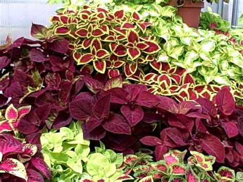 coleus plants coleus layers things i like pinterest