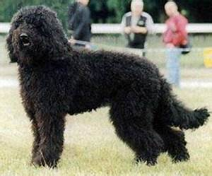 Barbet dog - Wikipedia