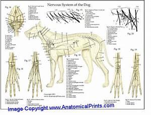 Dog Skeletal Anatomy Chart 8 X 11