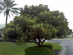 gardenia flower buy loquat japanese plum tree for sale in miami ft