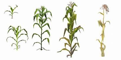 Corn Plant Clipart Stalk Transparent Silhouette Icon