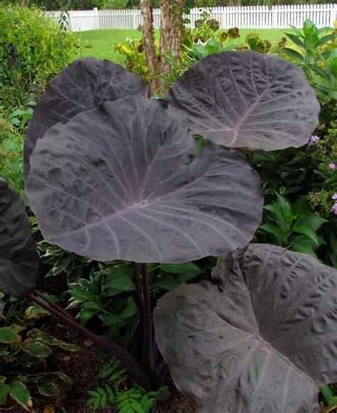 best fertilizer for elephant ears colocasia gigante quot dragonheart quot elephant ear plant