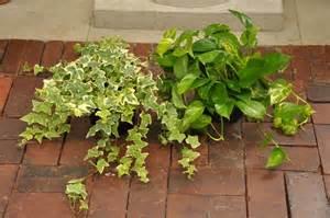 low vining ivy potho walter knoll florist commercial service saint louis missouri