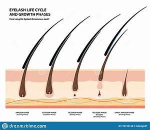 Eyelash Life Cycle And Growth Phases  How Long Do Eyelash